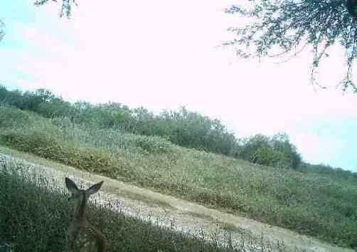 A Bambi